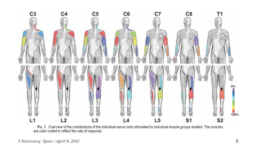 emg nerve root innervation